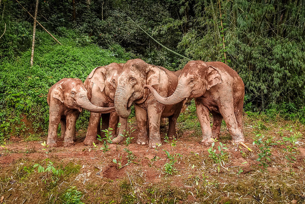 The Asian elephants play with mud. (Photo by Zha Wei)